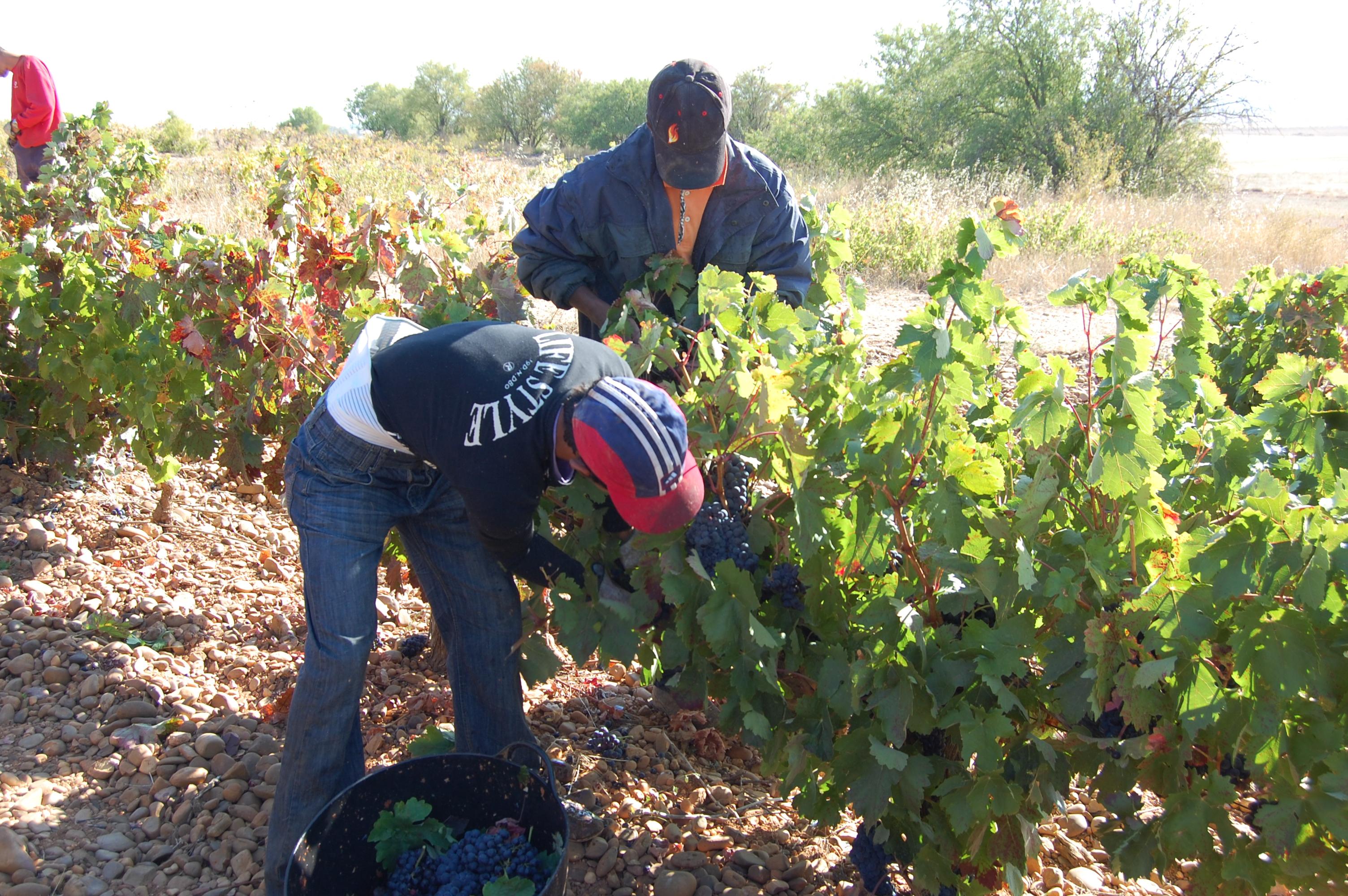 La DO Cigales aumenta su producción un 12% con respecto al año pasado